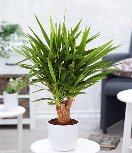 Yuccapalme - verzweigt,1 Pflanze