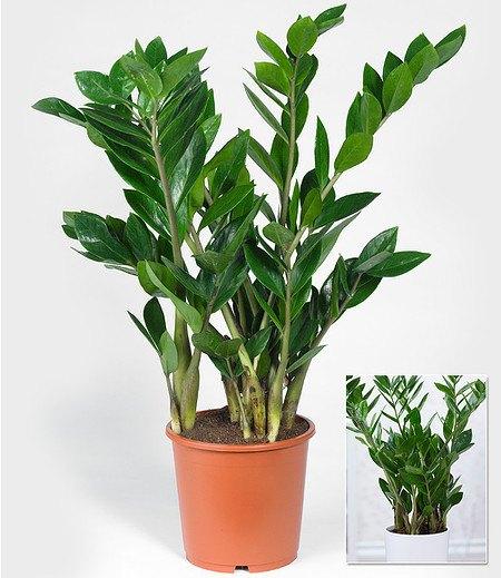 Zamioculcas im 17 cm Topf,1 Pflanze