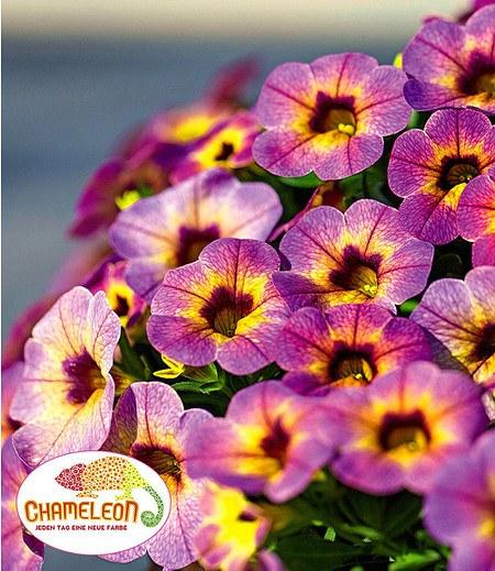 """Zauberglöckchen """"Chameleon Blueberry Scone"""" 3 Pflanzen Calibrachoa"""
