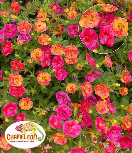 "Zauberglöckchen ""Chameleon Double-Pink-Yellow"",3 Pflanzen"