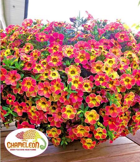 """Zauberglöckchen """"Chameleon Sunshine Berry"""" 3 Pflanzen Calibrachoa"""