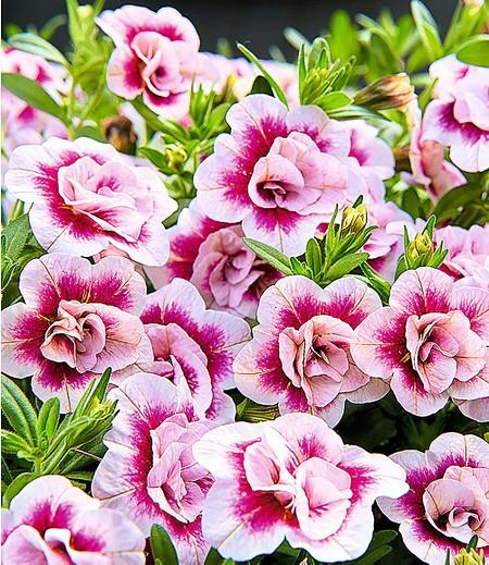 """Zauberglöckchen """"MiniFamous® Double PinkTastic"""",3 Pflanzen"""