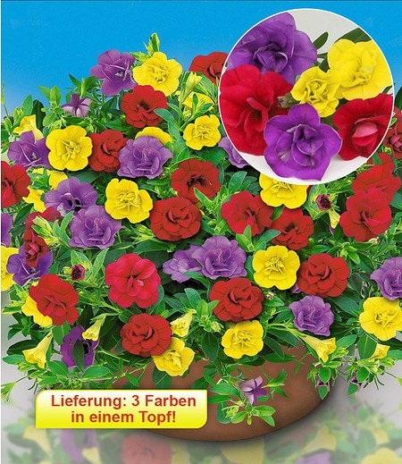 "Zauberglöckchen Trixi® ""Hot Petticoat"",3 Pflanzen"
