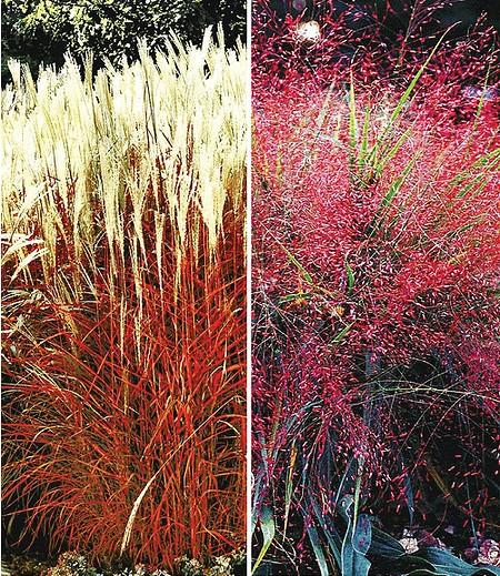 Ziergras-Kollektion,4 Pflanzen