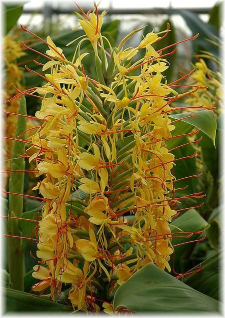 Zieringwer, Kahili-Ingwer Hedychium gardnerianum