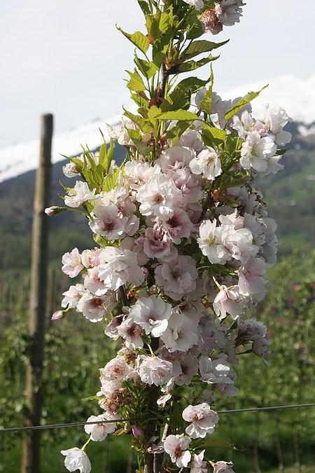 Zierkirsche Prunus serrulataAmanogawa