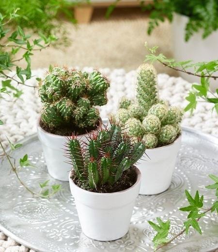 Zimmer-Kakteen 3er-Mix,3 Pflanzen