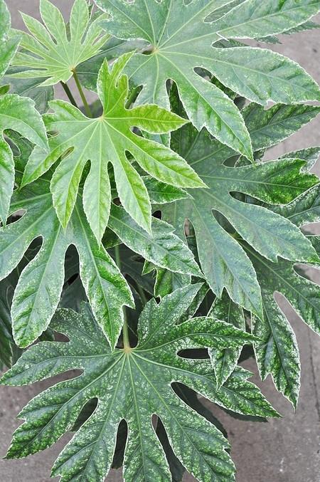 Zimmeraralie (Spiderweb) groß - Fatsia japonica Spiderweb
