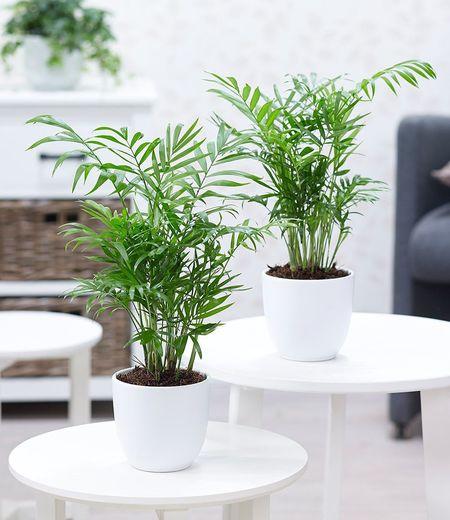 Zimmerpalmen Duo,2 Pflanzen