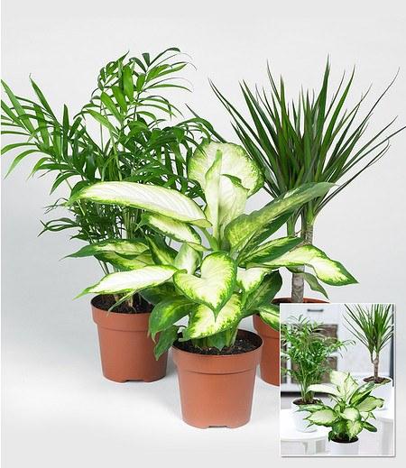 """Zimmerpflanzen-Mix """"Classic"""",3 Pflanzen"""