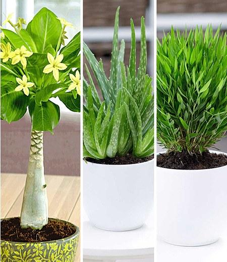 Zimmerpflanzen-Mix Exotisch,3 Pflanzen