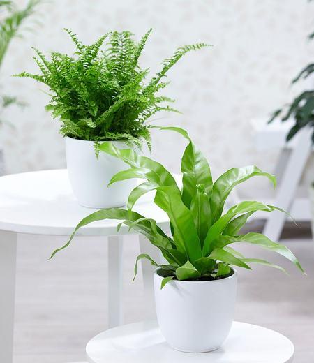"""Zimmerpflanzen-Mix """"Farn"""",2 Pflanzen"""