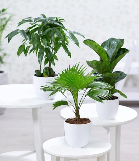 """Zimmerpflanzen-Mix """"Royal"""",3 Pflanzen"""