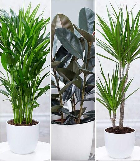"""Zimmerpflanzen-Mix """"XXL"""",3 Pflanzen"""