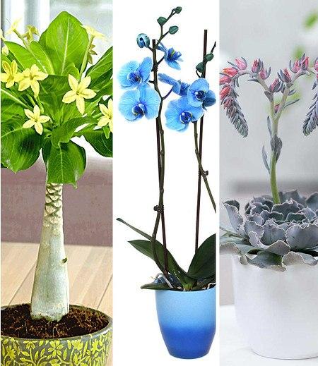 Zimmerpflanzen-MixBlühende Lieblinge,3 Pflanzen