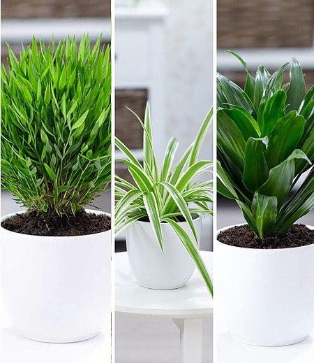 Zimmerpflanzen-MixGrünes Trio,3 Pflanzen