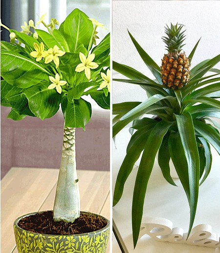 Zimmerpflanzen-MixSüdsee,2 Pflanzen