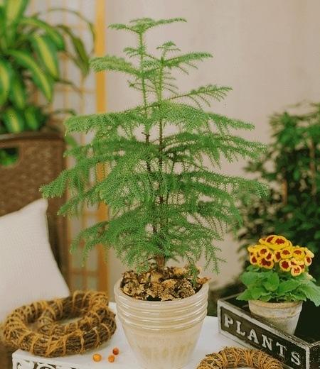 Zimmertanne,1 Pflanze
