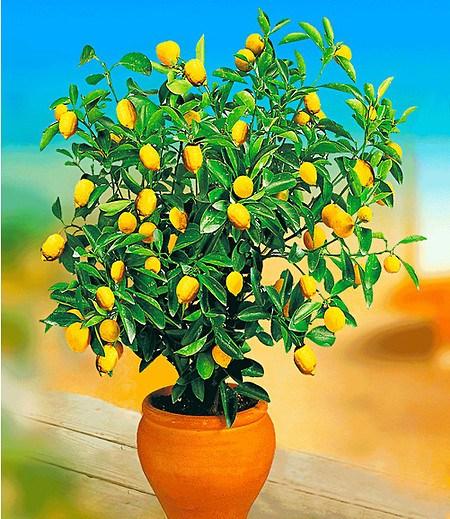 Zitronen-Bäumchen,1 Pflanze