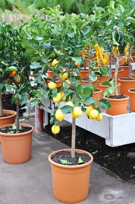 Zitronenbaum aus Italien - Citrus limon