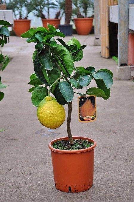 Zitronenbaum (Kaiserzitrone, Riesenzitrone) - Citrus limon Lipo