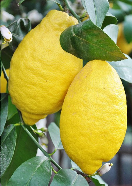 Zitronenbaum (Limon) - Citrus limon
