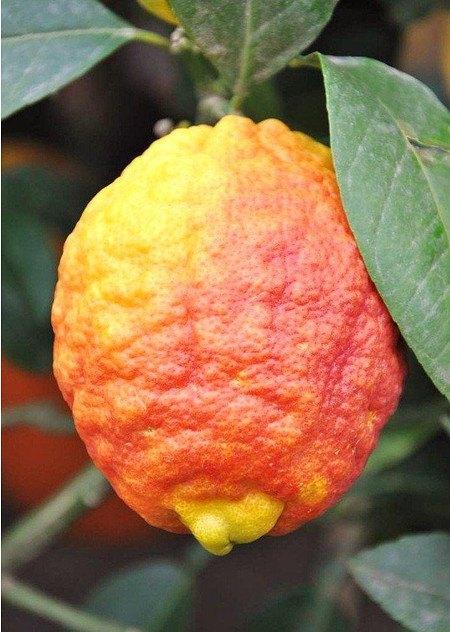 Zitronenbaum (Rote Zitrone) Rosso - Citrus limon Rosso