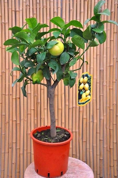 Zitronenbaum (Zitronatzitrone, Cedrat) - Citrus medica