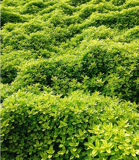 Zitronenthymian,3 Pflanzen
