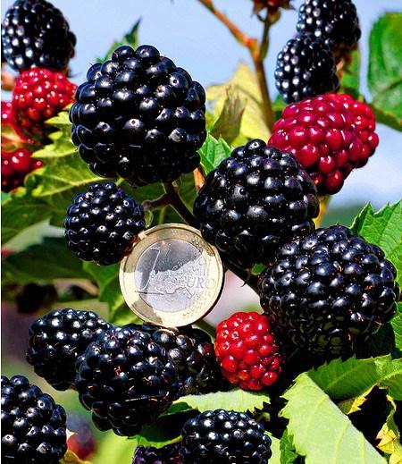 "Zuckerbrombeere ""Asterina®"",1 Pflanze"
