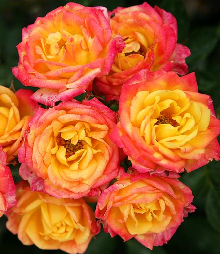 "Zwergrose ""Little Sunset®"", 1 Pflanze"