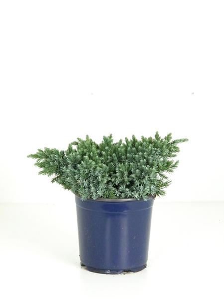 Zwergwacholder 'Blue Star', ca. 25-30 cm hoch