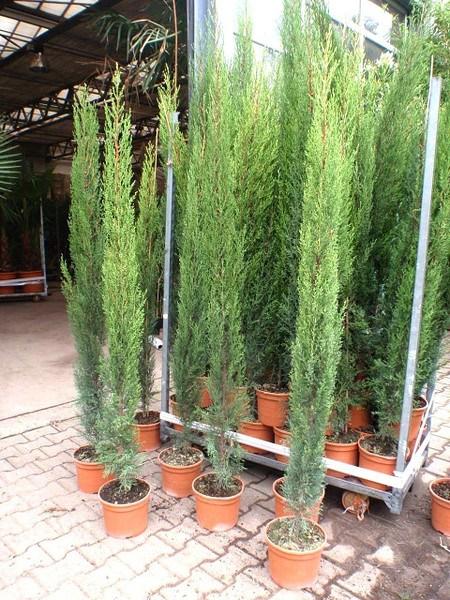 Zypresse (Toskana Zypresse) - Cupressus sempervirens