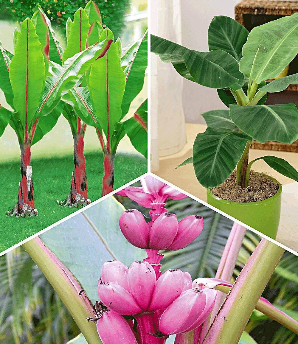 rosa Banane Obstpflanze Gemüsepflanze große Zimmerpflanzen für den Blumentopf