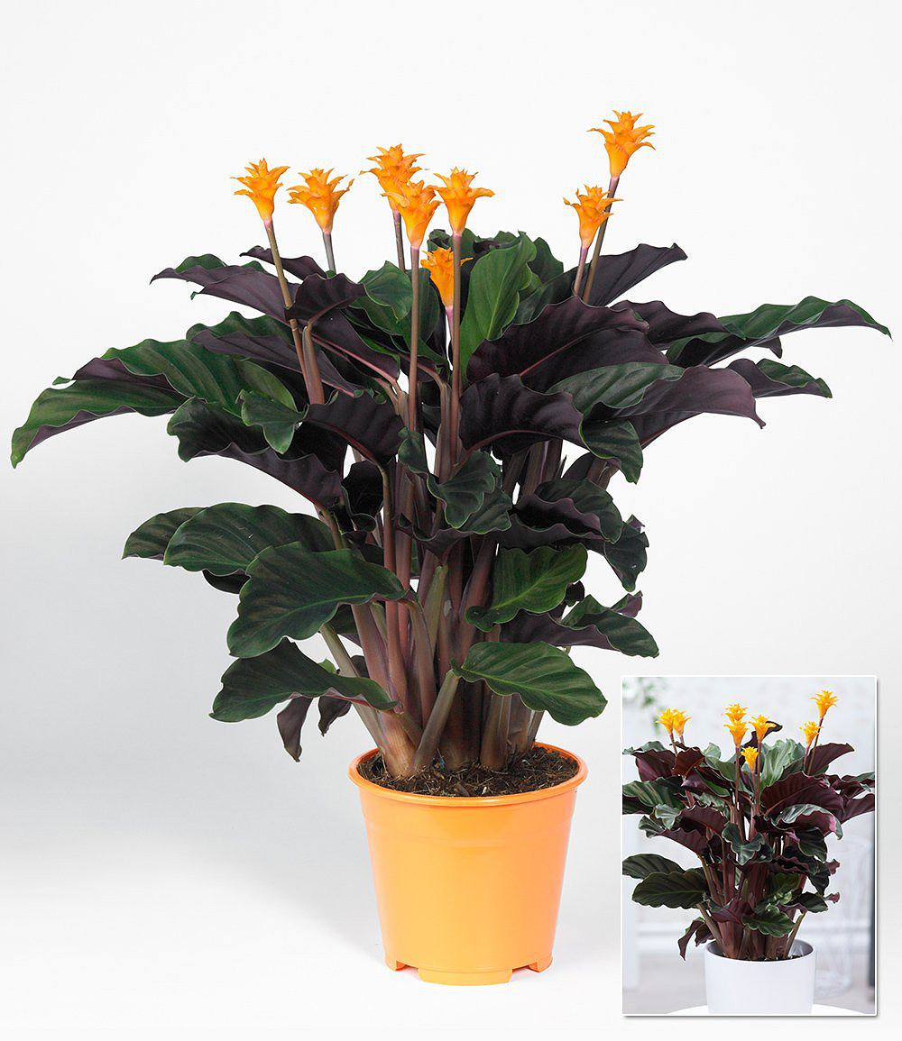 calathea crocata 1 pflanze g nstig online kaufen mein. Black Bedroom Furniture Sets. Home Design Ideas