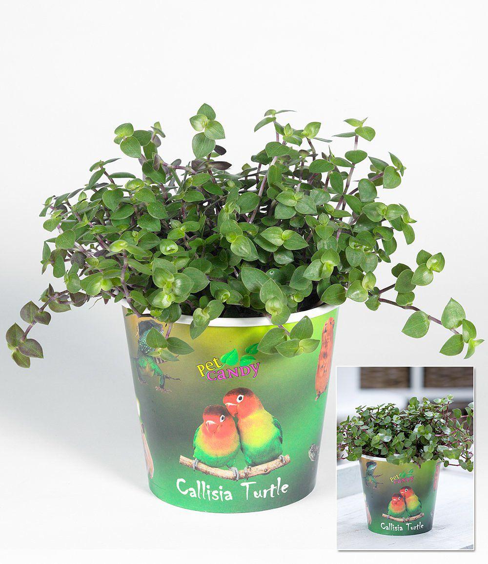 callisia turtle 1 pflanze g nstig online kaufen mein sch ner garten shop. Black Bedroom Furniture Sets. Home Design Ideas