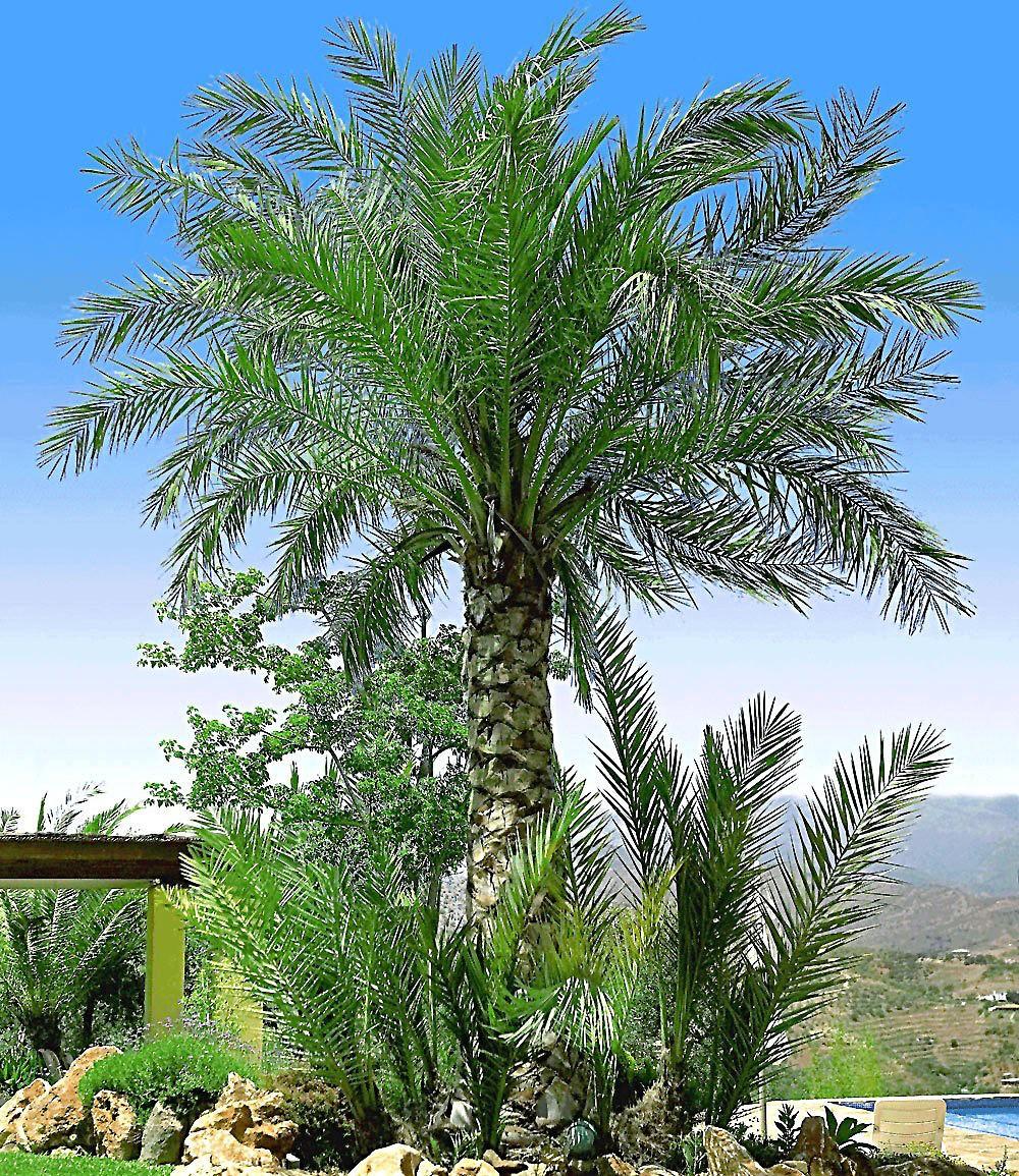 chilenische honigpalme 1 pflanze g nstig online kaufen. Black Bedroom Furniture Sets. Home Design Ideas