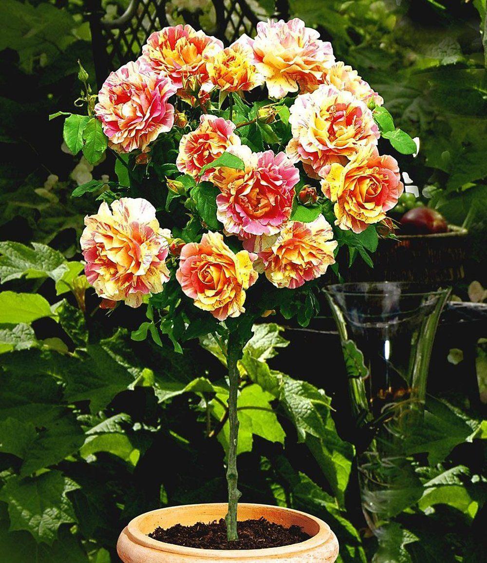 Rosen Kaufen Günstig : delbard rosen stamm claude monet 1 stamm g nstig online kaufen mein sch ner garten shop ~ Markanthonyermac.com Haus und Dekorationen