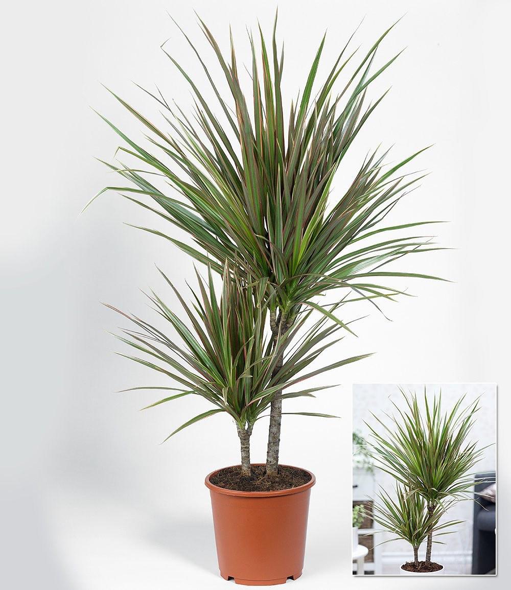dracaena marginata bicolor ca 70 cm hoch 1 pflanze g nstig online kaufen mein sch ner. Black Bedroom Furniture Sets. Home Design Ideas