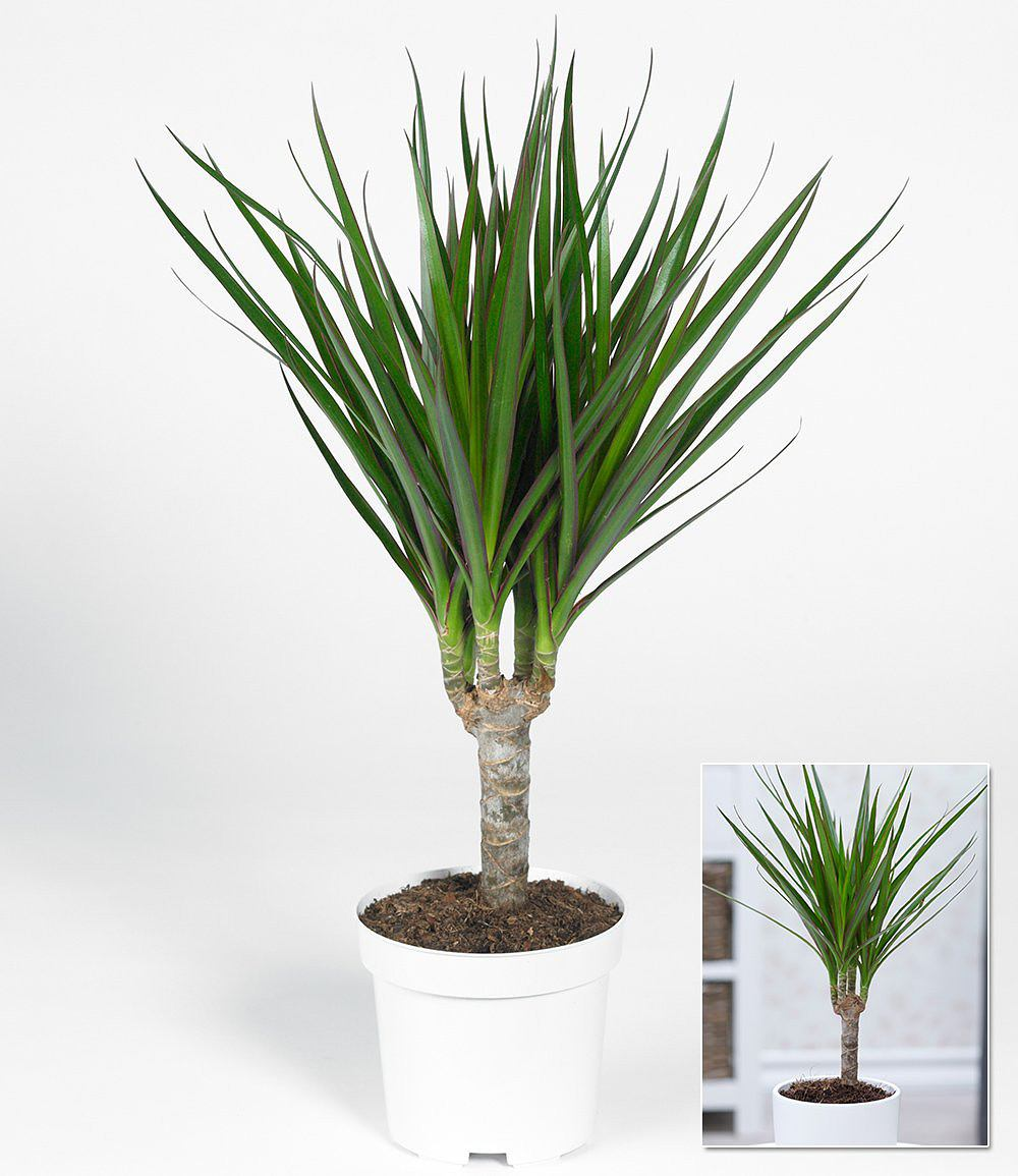 dracaena marginata ca 40 cmhoch 1 pflanze g nstig online kaufen mein sch ner garten shop. Black Bedroom Furniture Sets. Home Design Ideas