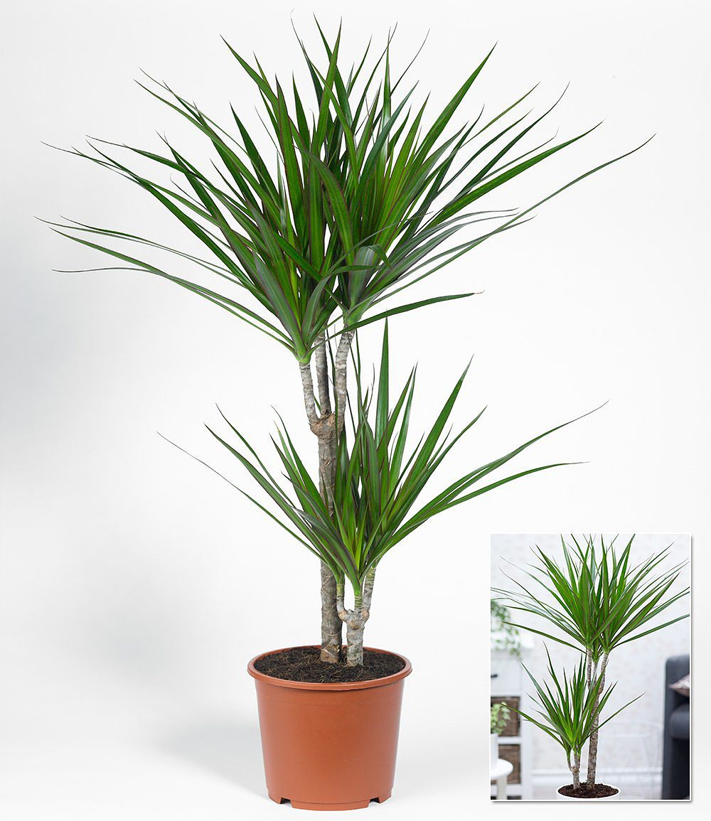 dracaena marginata ca 70 cmhoch 1 pflanze g nstig. Black Bedroom Furniture Sets. Home Design Ideas