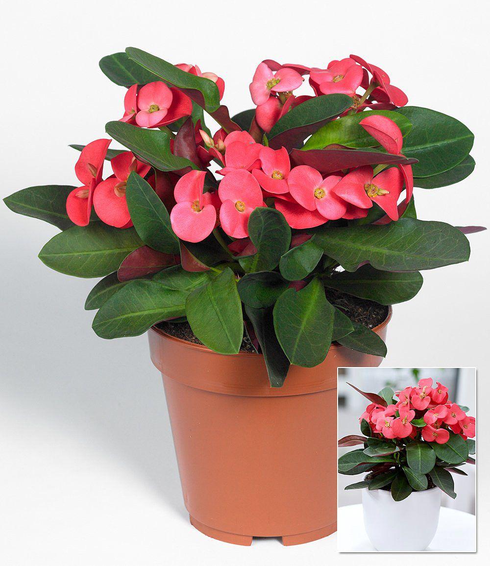 euphorbia milii 1 pflanze g nstig online kaufen mein sch ner garten shop. Black Bedroom Furniture Sets. Home Design Ideas