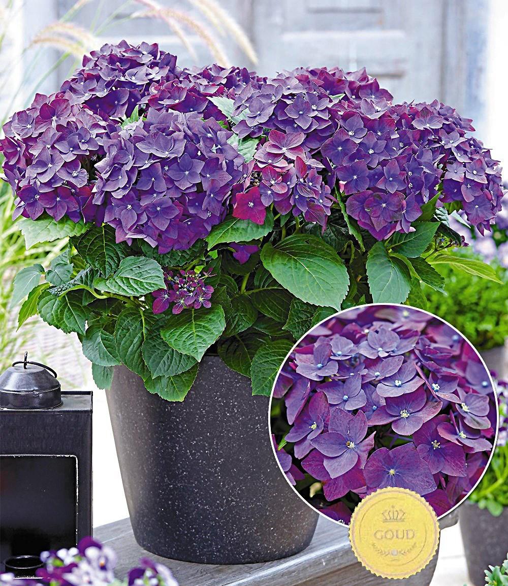 """Freiland-Hortensie """"Deep Purple"""",1 Pflanze Günstig Online"""