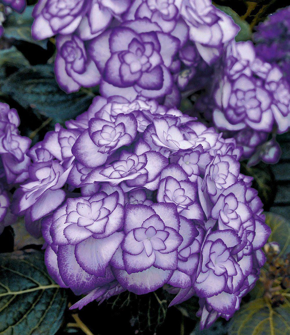 """Freiland-Hortensie """"Miss Saori Blue®"""",1 Pflanze Günstig"""