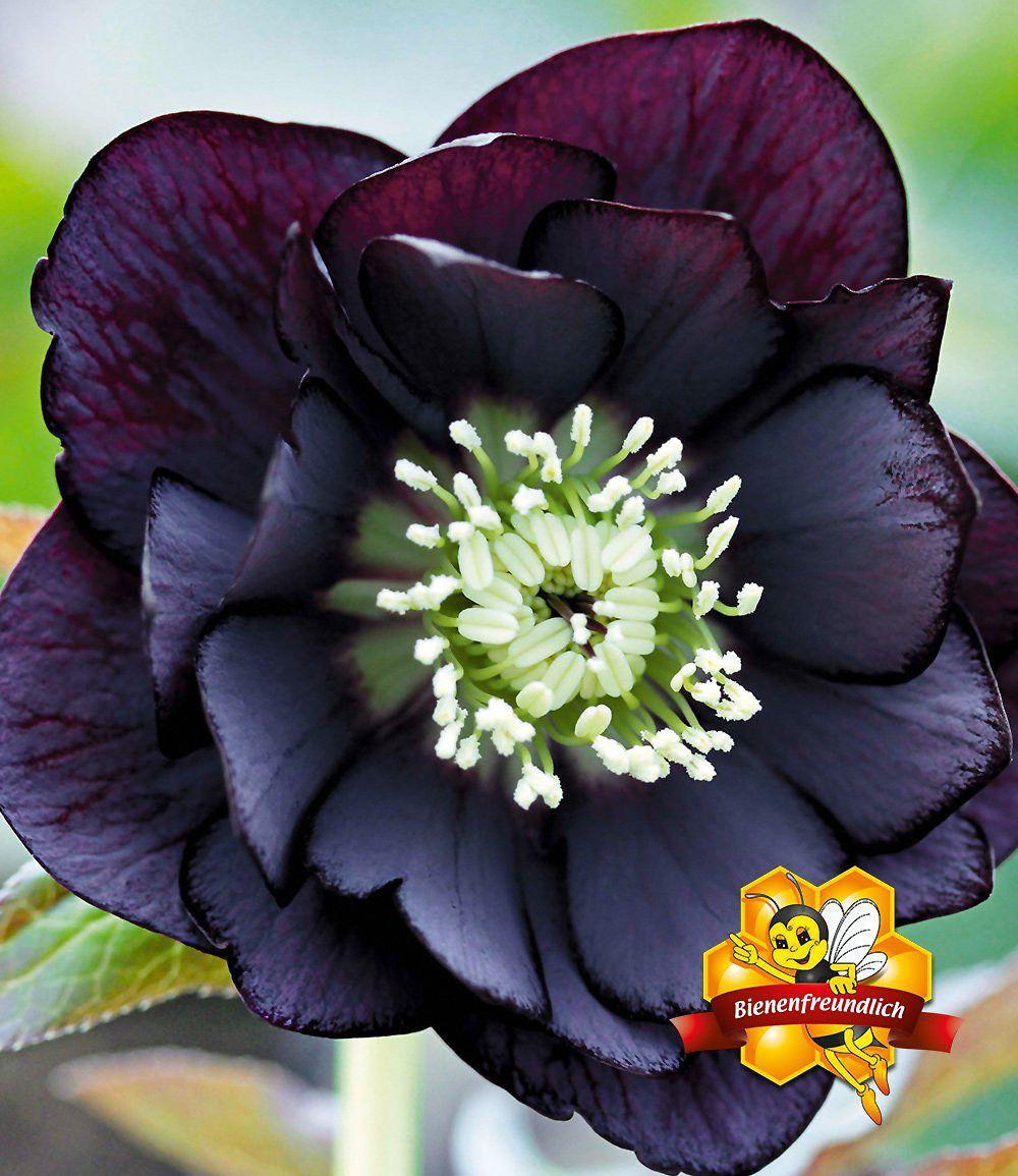 gef llte christrose black swan 1 pflanze g nstig online kaufen mein sch ner garten shop. Black Bedroom Furniture Sets. Home Design Ideas
