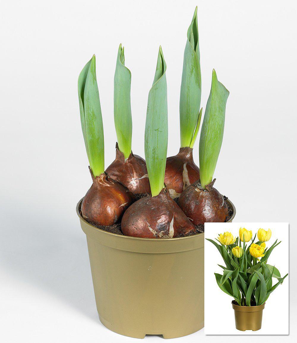 Tulpen - Pflanzen, Pflege Und Tipps - Mein Schöner Garten Tulpen Im Garten Pflanzen
