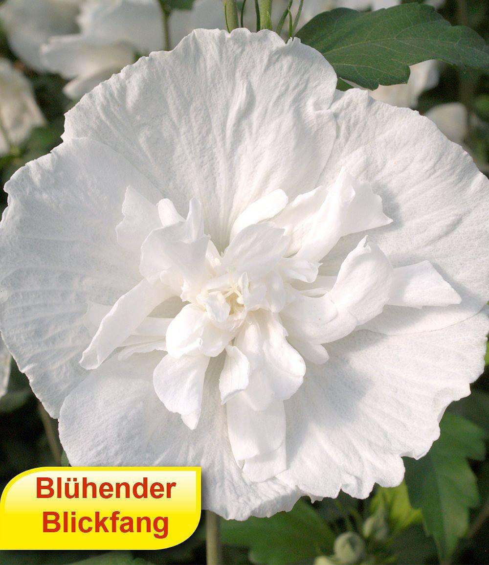 """Gefüllter Hibiskus """"Chiffon """" weiß 1 Pflanzen günstig online"""