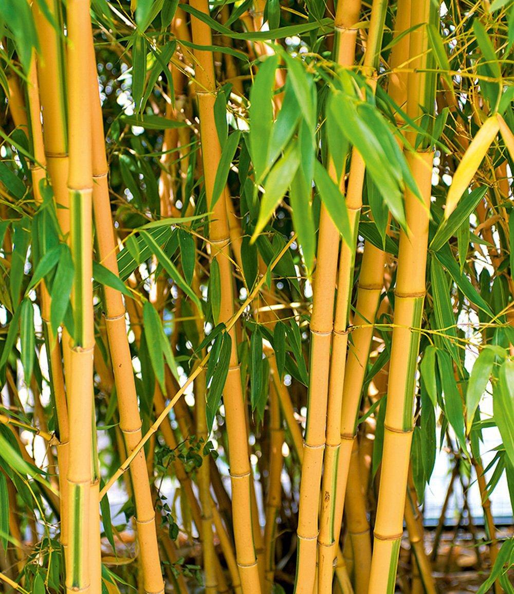 goldener peking bambus 1 pflanze g nstig online kaufen. Black Bedroom Furniture Sets. Home Design Ideas