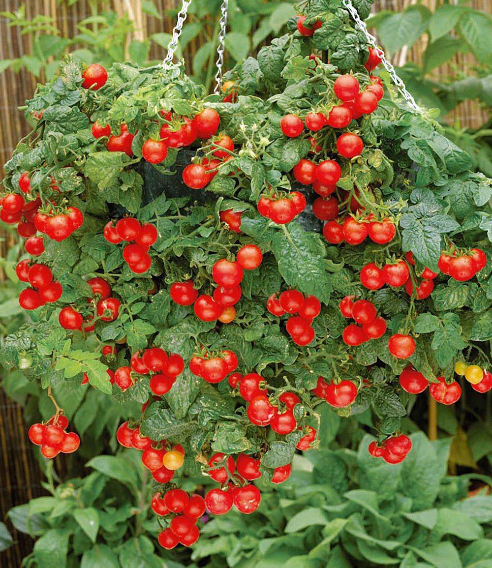 h nge tomate tasty tumbler 2pflanzen lycopersicon cherrytomaten g nstig online kaufen mein. Black Bedroom Furniture Sets. Home Design Ideas