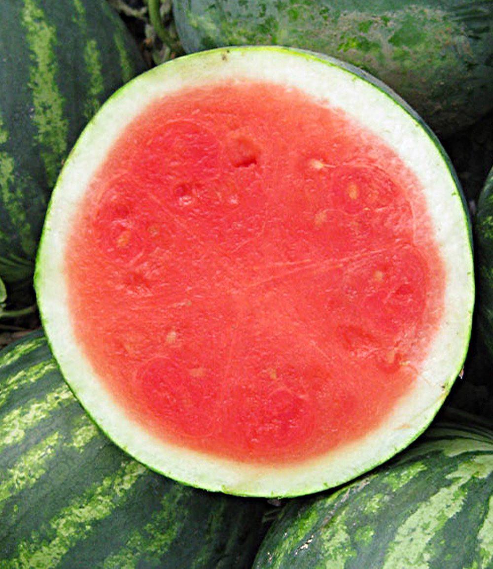 Wassermelone Pflanzen Kaufen : kernlose wassermelone denise f1 1 pflanze ohne kerne g nstig online kaufen mein sch ner ~ Watch28wear.com Haus und Dekorationen